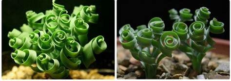 lovely  unusual moraea tortilis  spiral grass
