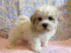 havanese bichon shih tzu mix 1000 images about puppy on puppies maltese and shih tzu mix