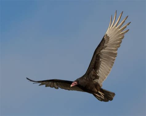 turkey vulture in flight wildlife nature photography