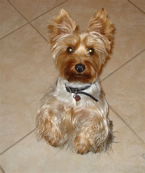silky terrier with haircut silky terrier with haircut silky terrier haircuts image
