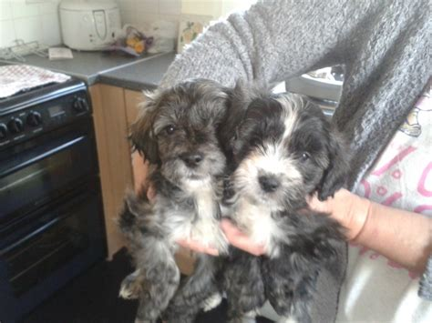 yorkie cross poodle yorkiepoos yorkie cross poodle pups ready now erith kent pets4homes