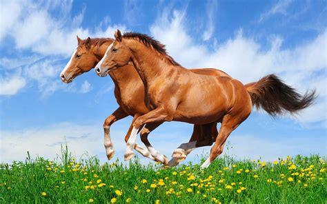 red horses galloping   field  green grass beautiful hd wallpaper  desktop