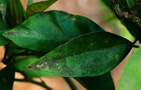 black bugs on tree sooty mold on meyer lemon caused by insect pests sfgate