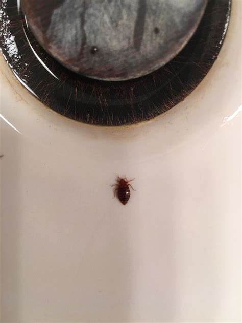 exterminate bed bugs how to get rid of bed bugs with pictures wikihow