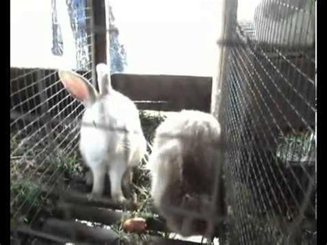 membuat puisi kelinci video panduan ternak kelinci youtube