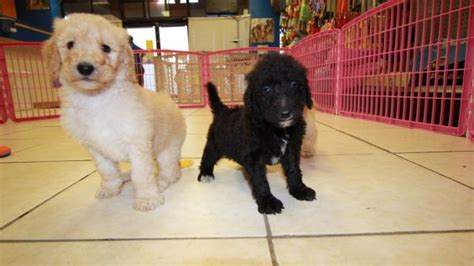 goldendoodle puppies for sale in ga huggable goldendoodle puppies for sale in ga at puppies for sale local breeders