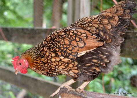 best chickens for small backyard best backyard chickens timber creek farm