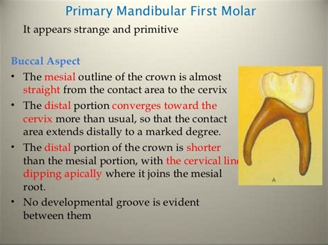 what is the first section of the large intestine morphology of tooth
