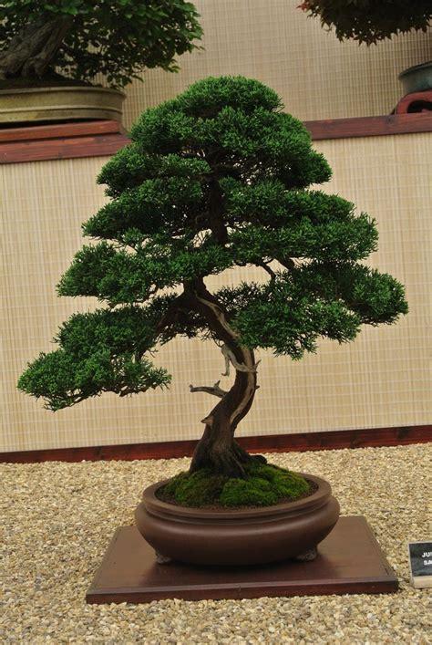 old bonsai tree 60 year old bonsai tree bonsai pinterest
