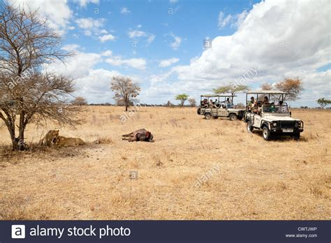 african safari jeep tourists on an african jeep safari watching lions and