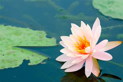 i fiore fiore di loto come coltivarlo al meglio fai da te in
