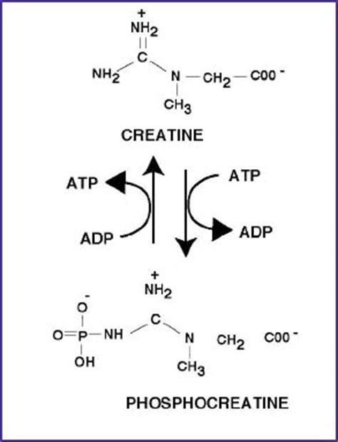 creatine phosphate functions in the cell by athletic xtreme articles news creatine function and