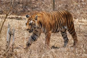 Are Animals Color Blind Bengal Tiger Facts Pictures Habitat Information Diet
