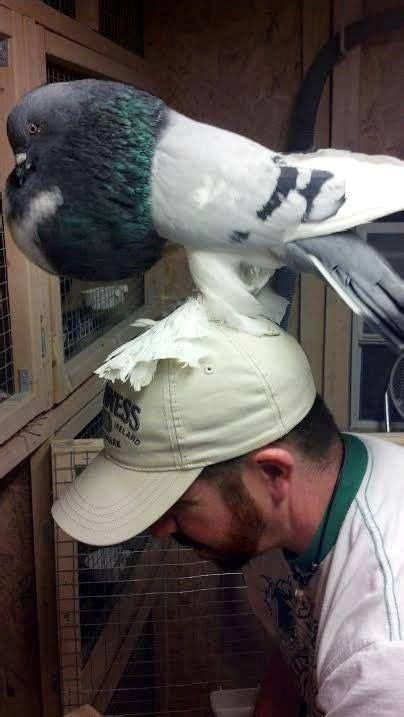 pomeranian pouter les 18 meilleures images du tableau pigeon pouter sur pigeon beaux