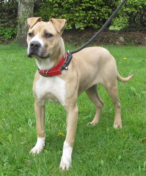american bulldog colors 7 8 month american bulldog for adoption