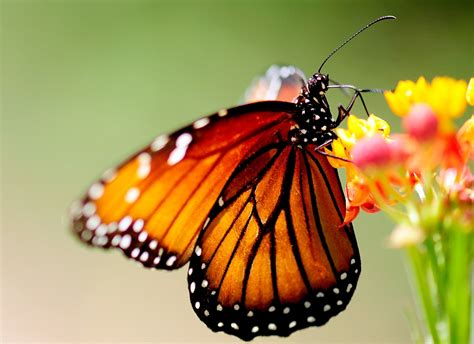 colorful butterflies 55 colorful butterfly hd free images wallpapers