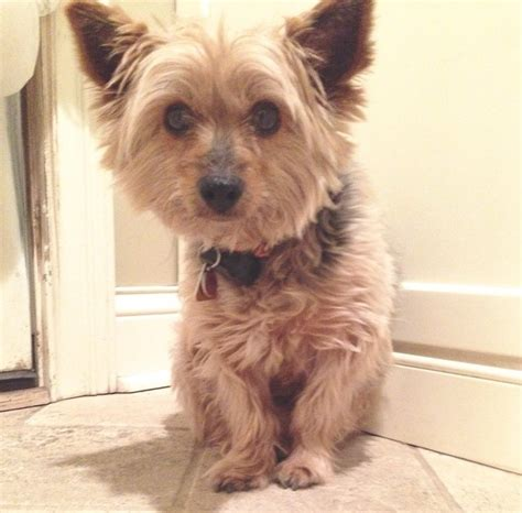 puppy rescue chicago lost chicagoland rescue