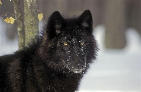 quando esce sangue dal sedere il colore nero degli animali