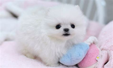 where can i buy teacup pomeranian teacup pomchi puppies for sale newtome free classifieds buy and sell gails