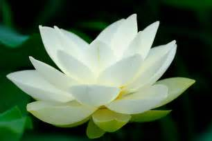 What Is The Lotus Flower No Religion Buddhadasa Bhikkhu Standing In An Open Field