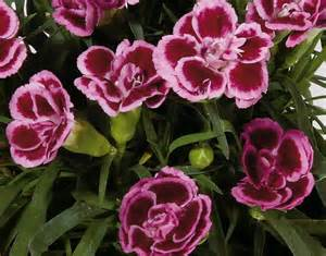 garofani in vaso garofani da vaso floricoltura zonta