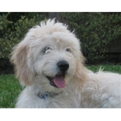 mini goldendoodles florida kaboodles goldendoodles goldendoodle breeder in oviedo