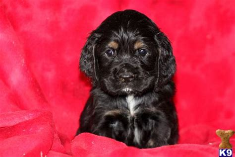 cocker spaniel puppies for sale mn american cocker spaniel puppies for sale in mn