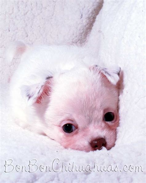 chihuahua puppies houston chihuahua puppies for sale houston for sale in houston breeds picture