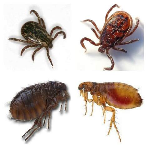 ticks in house how to control fleas flea and tick fleas in house fleas