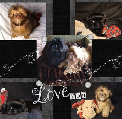 tiny tot shih tzu upcoming litters tiny tot shih tzu imperial shih tzu puppies