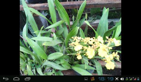 bibit buah tanaman hias bunga anggrek lokal  cantik