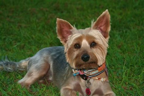 bald yorkie 17 best images about yorkie on yorkie puppys and grooming styles