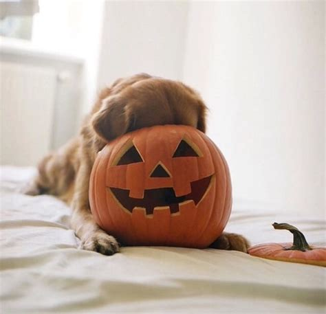 puppy fell on autumn fall pumpkin puppy image 3644118 by helena888 on favim