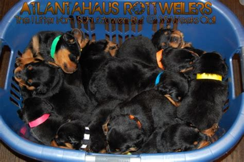 german rottweiler breeder a trustworthy atlanta german rottweiler breeder
