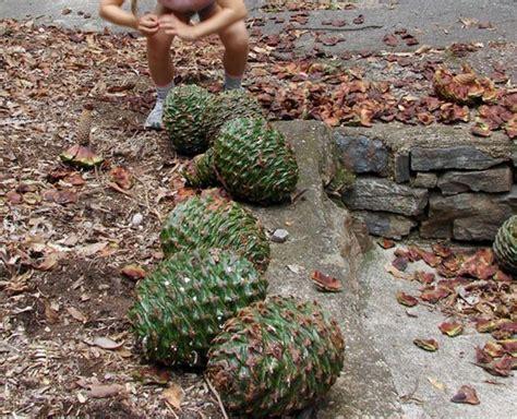 big bunya pine cones australia pinecones other seed