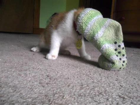 Kaos Kaki Hewan Peliharaan Anjing Kucing Lucu 1 apa hubungannya kucing dengan kaos kaki tidak ada setidaknya sai kamu melihat ini