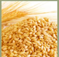 Wheat Grains - Wholesale Price for Whole Wheat in India Fgfdfd