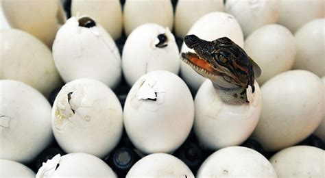 Animal Egg would you eat the eggs from these 10 animals