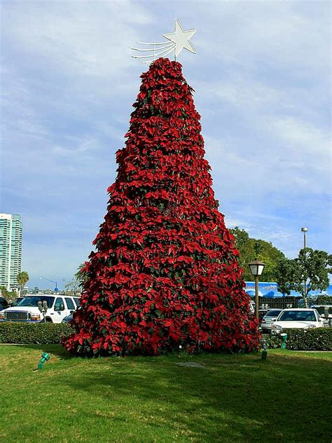 file christmas poinsettia tree in san diego jpg
