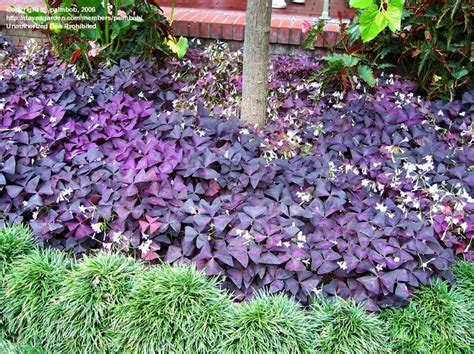 plants that grow in complete darkness plantfiles pictures wood sorrel false shamrock