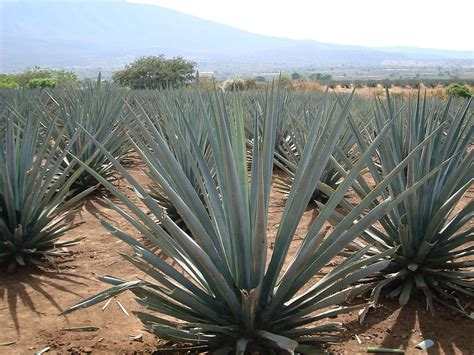 agave cultural landscape mexico