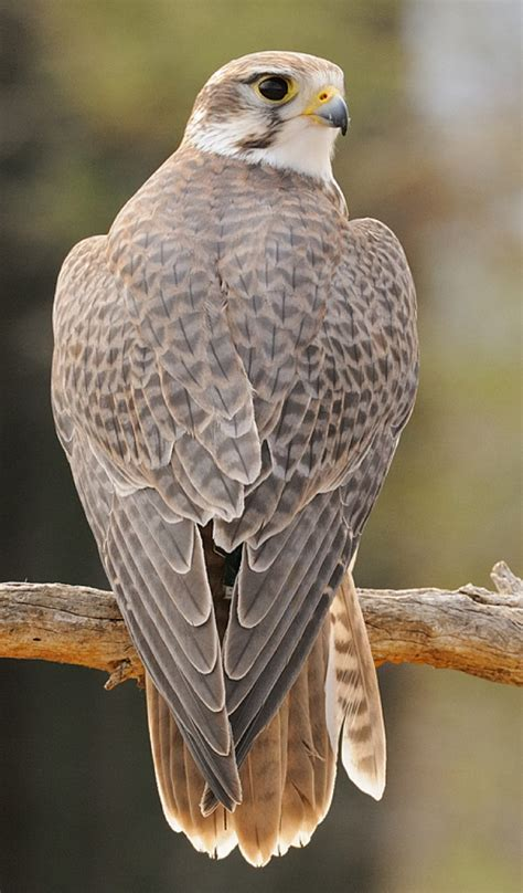 prairie arizona prairie falcon arizona sonoran desert museum mountain time zone