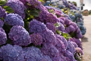 Most Common Garden Flowers Garden Flowers Hydrangeas In All Their Different Forms Cox Garden Designs
