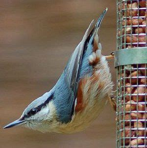 78 images about white breasted nuthatch on pinterest