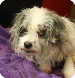 shih tzu rescue iowa sissy adopted west des moines ia shih tzu mix