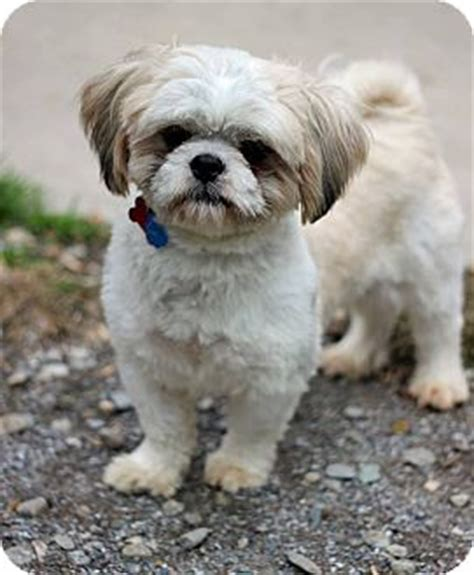 shih tzu puppies for adoption in nj tinton falls nj shih tzu mix meet oliver a for adoption