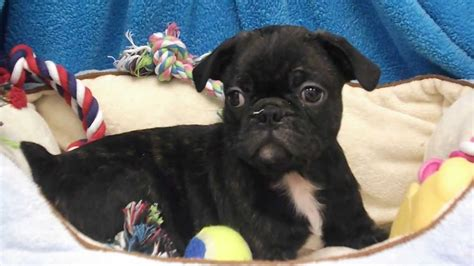pug puppies for sale in pittsburgh pa puppies and dogs for sale in pittsburgh pennsylvania pets world