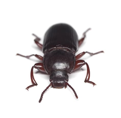 Pantry Bugs Black by Pantry Beetle Flour Beetles How To Get Rid Of