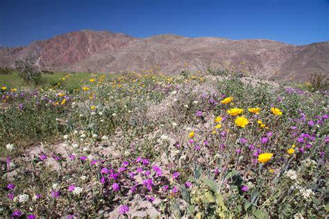anza borrego desert flowers anza borrego spring flowers naturetime