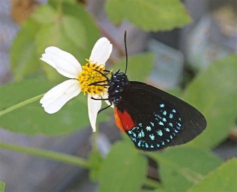Original Mesin Jahit Butterfly Ja 1 file eumaeus atala atala hairstreak butterfly florida usa 4 16628981784 jpg wikimedia